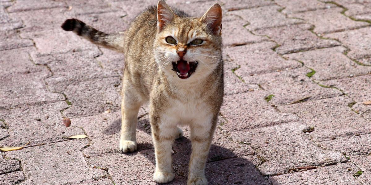 Chat qui miaule: pourquoi et comment le calmer ?