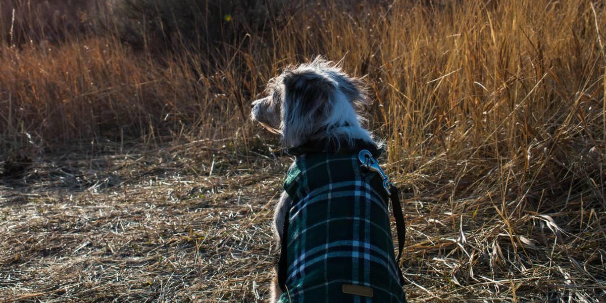 Quand mettre un manteau à un chien ?