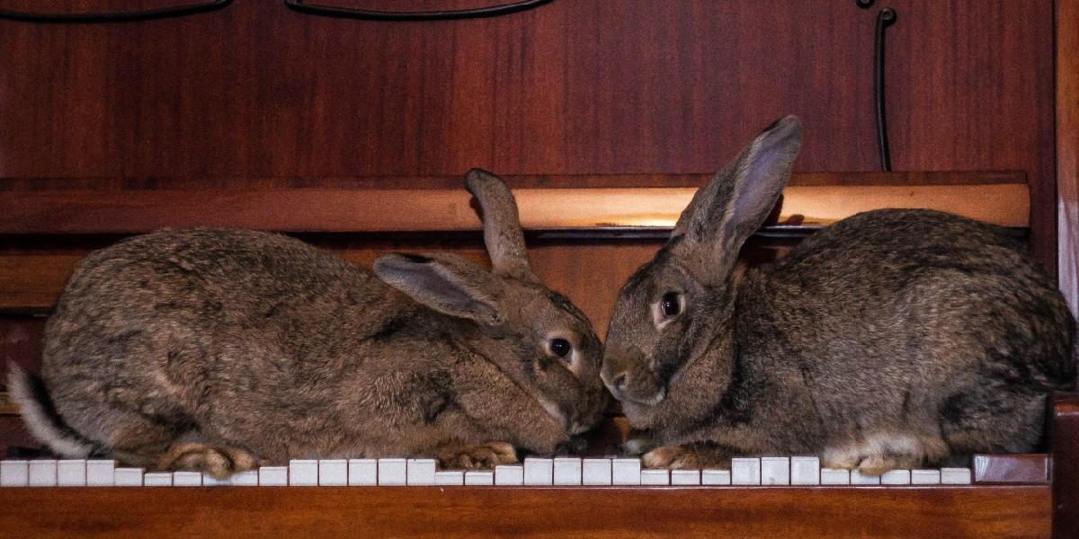 Les gros lapins