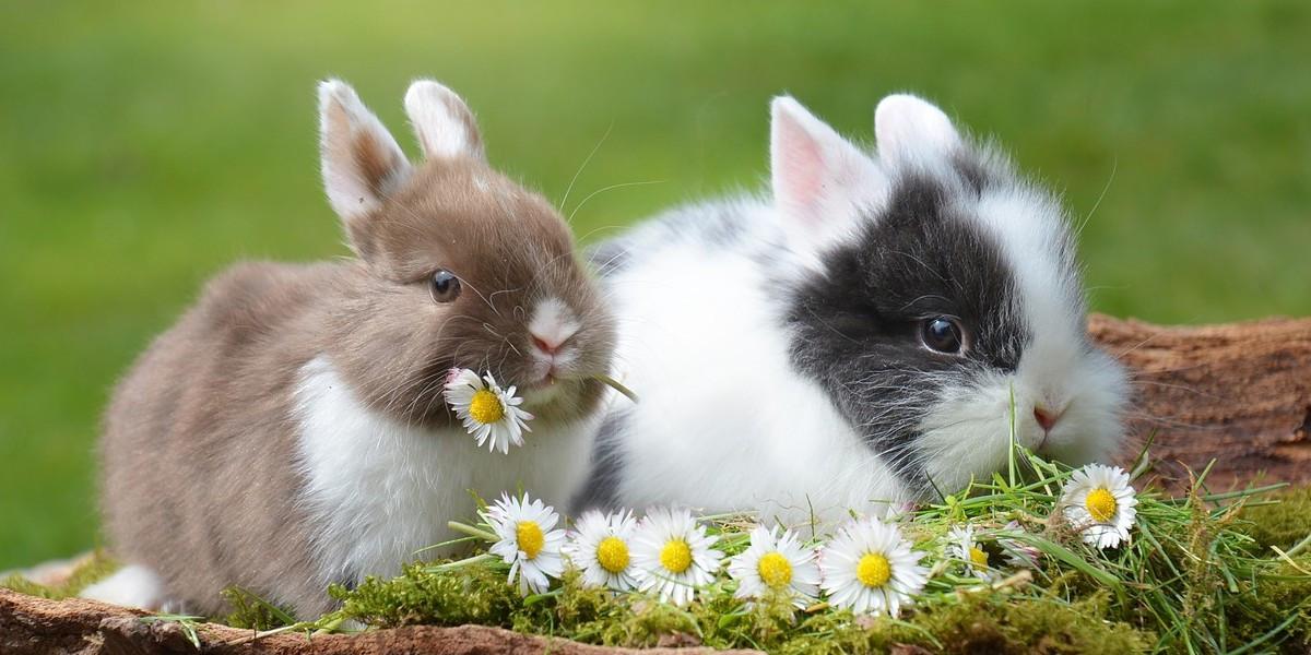 Durée de vie d'un lapin nain