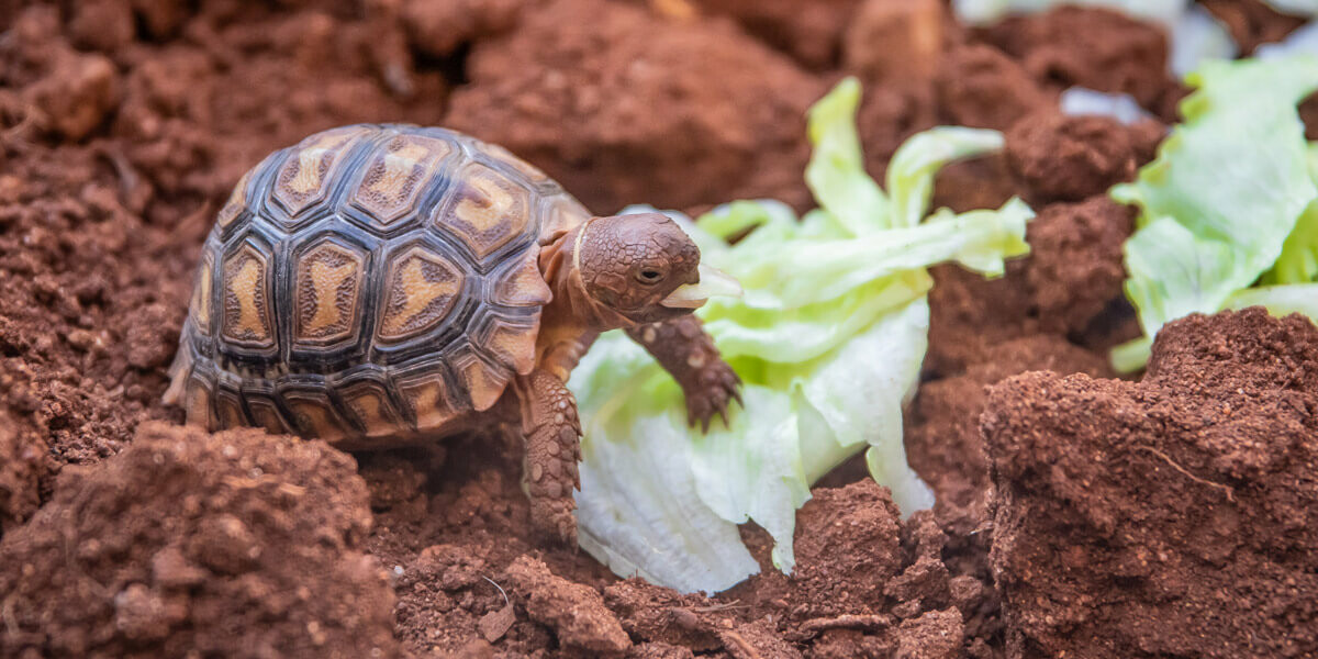 Que mange une tortue ?