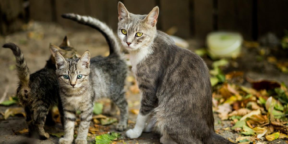 La péritonite infectieuse chez le chat