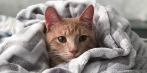 La gastrite chez le chat