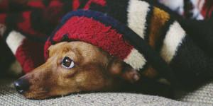Diarrhée du chien