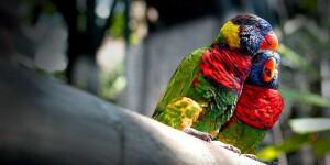 Les oiseaux inséparables