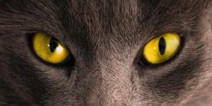 La conjonctivite chez le chat