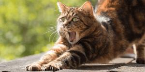 Mon chat vomit, que faire ?