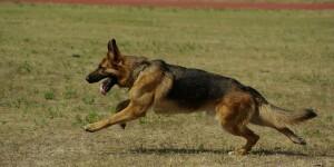 La dysplasie du chien