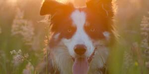 Race de chien préférée des français