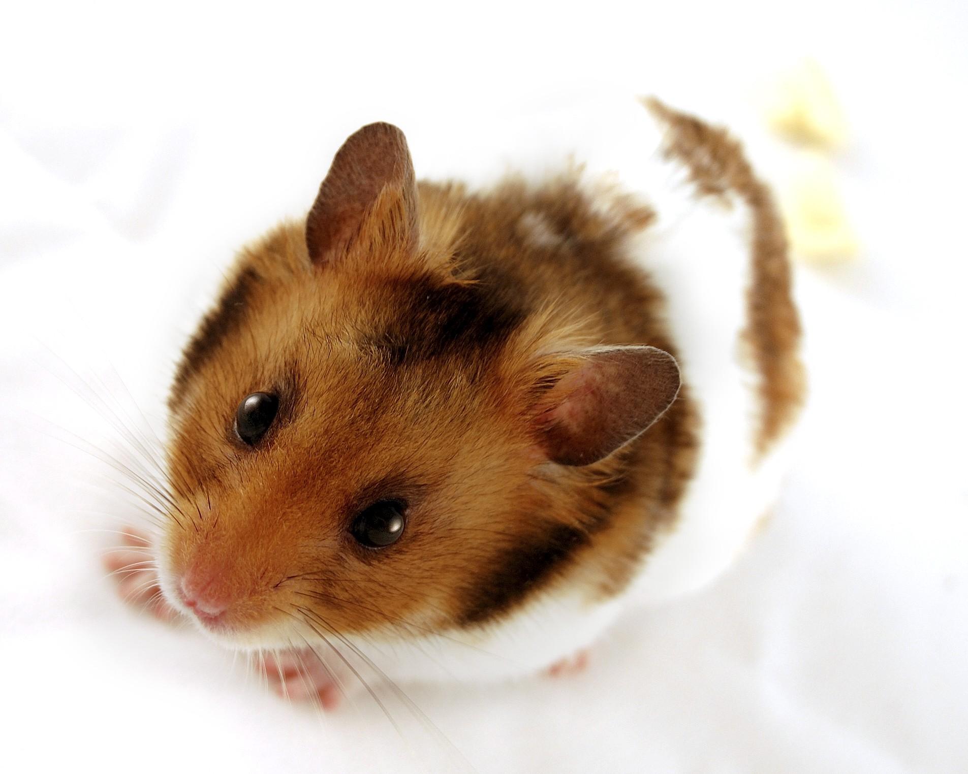 Arrivée d'un hamster