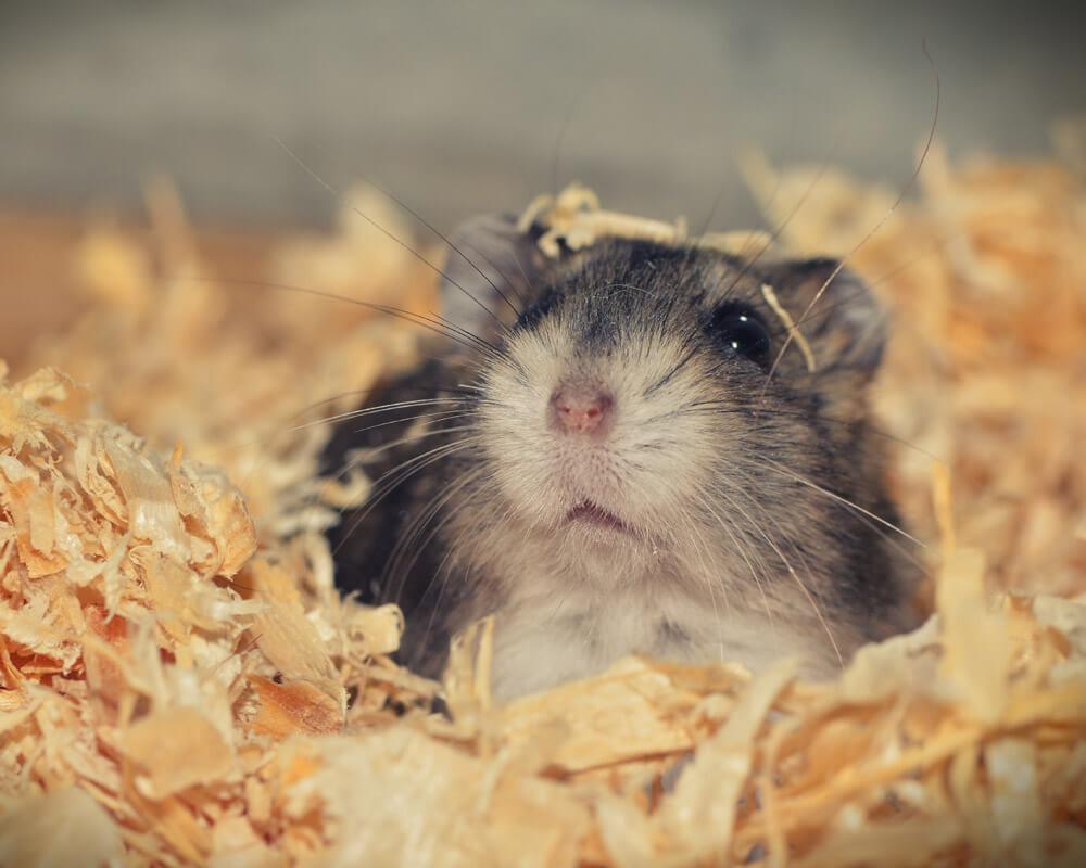 Combien de temps vit un hamster ?