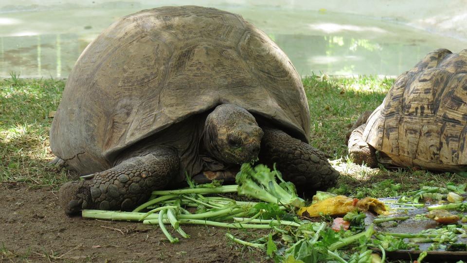Comment bien nourrir une tortue terrestre ?