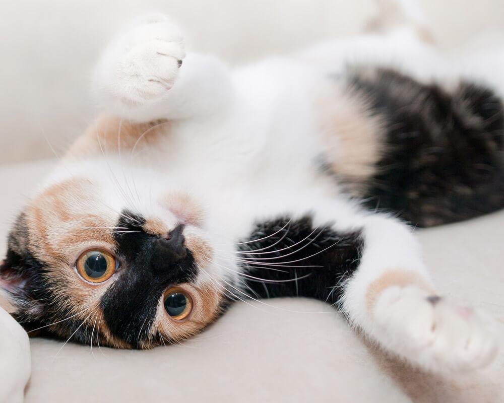 Comment mettre de l'anti-puce à un chat ?