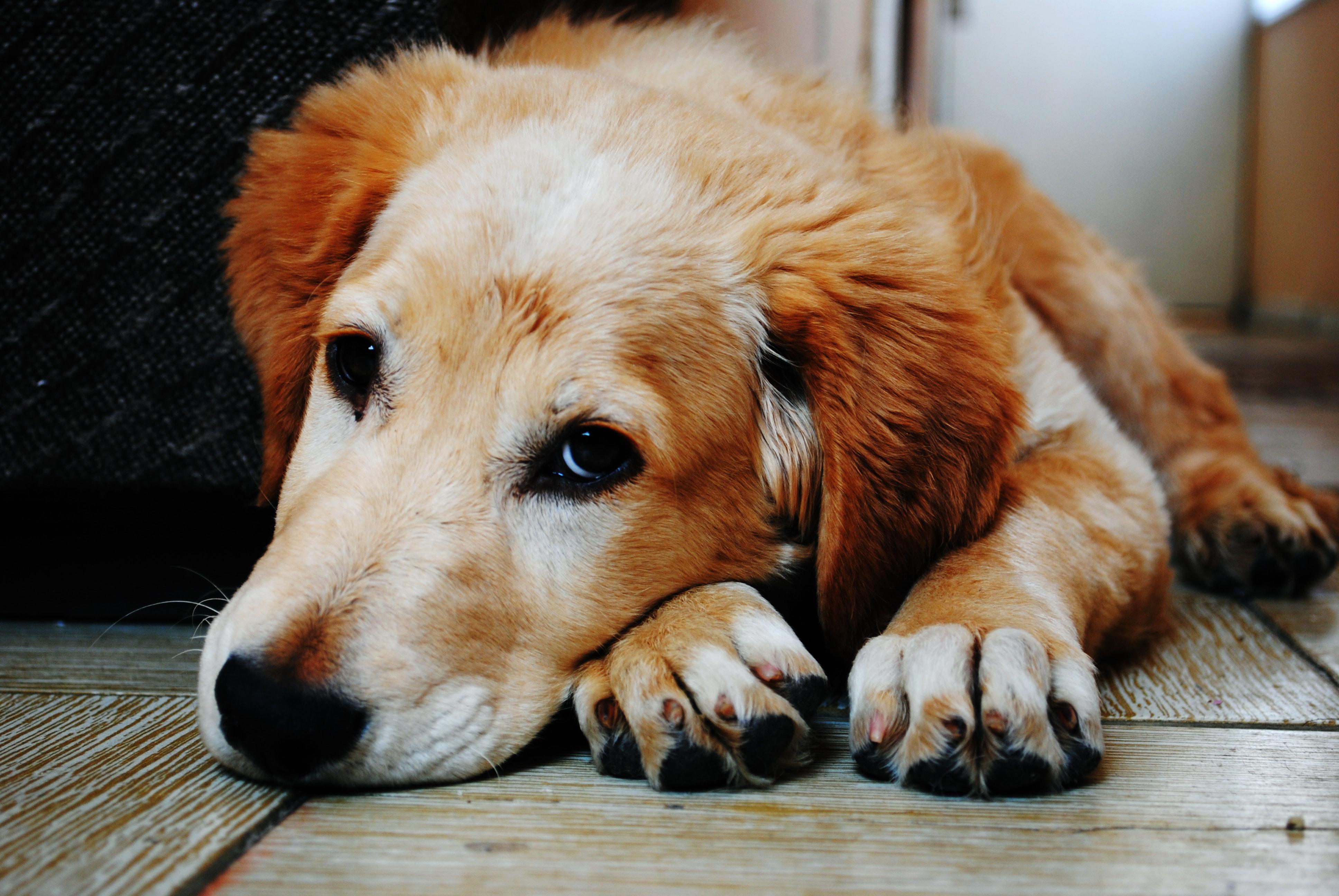 Comment prendre la température du chien ?