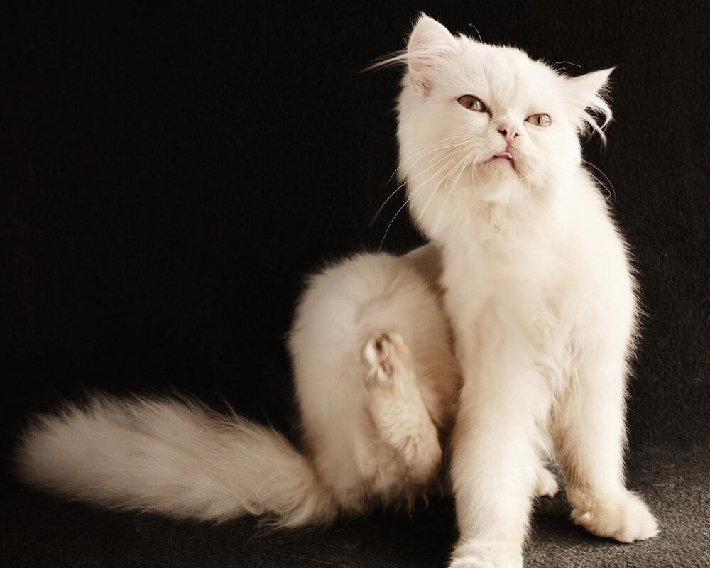 Comment savoir si un chat a des puces ?