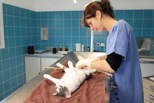 Comment se passe la stérilisation de la chatte ?