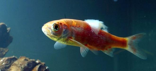 Comment traiter les maladies chez les poissons d'aquarium