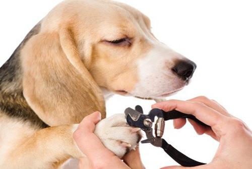Entretenir les ongles du chien et couper le griffes