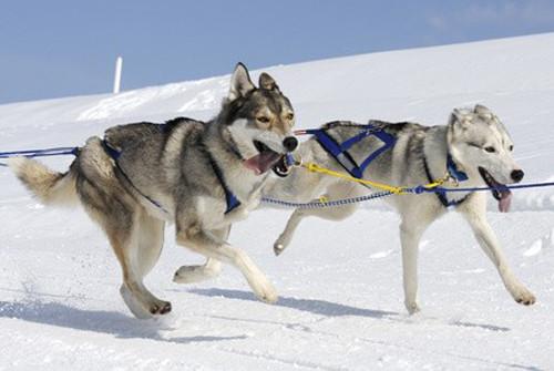 Siberian Husky: fiche de race