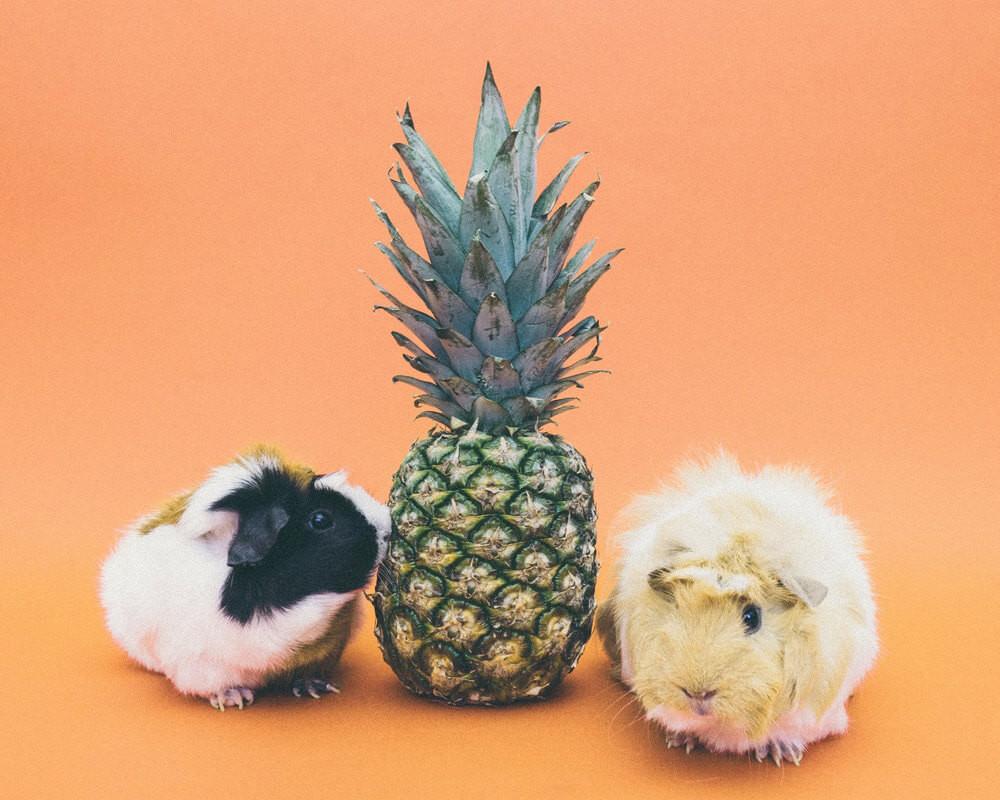 Hamster ou cochon d'inde ?