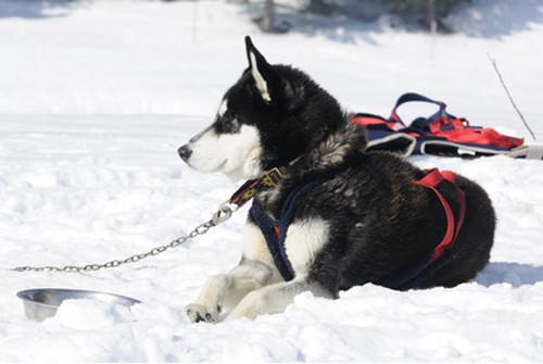 Pulka, des sensations de glisse intenses avec son chien