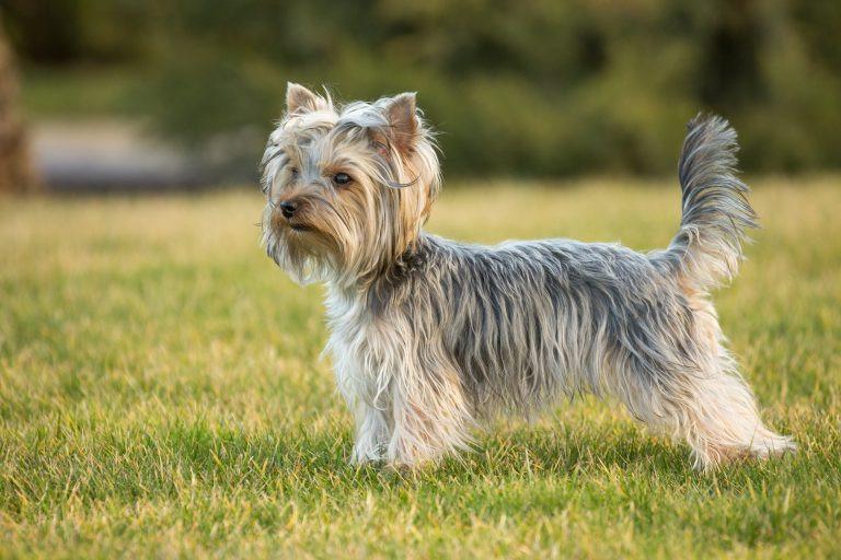 Le Yorkshire terrier