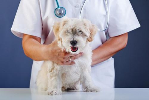 Mon chien a des tiques, quelles maladies peut-il attraper?