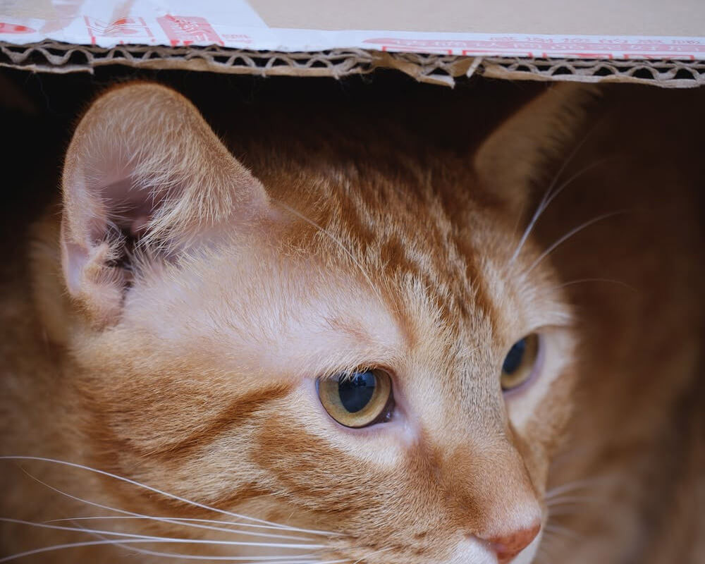 Pourquoi mon chat aime les cartons ?