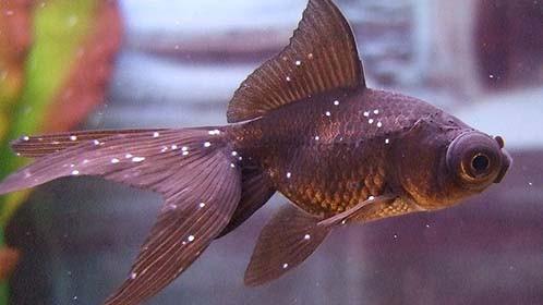 Prévenir les maladies chez les poissons