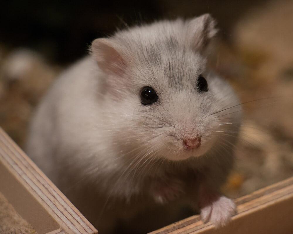 Quel hamster choisir ?