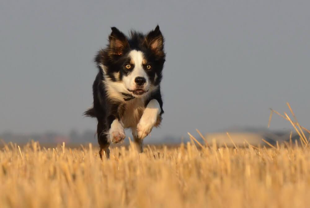 Races de chiens les plus sportifs