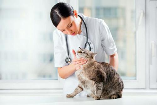 Savoir si votre chatte attend une portée