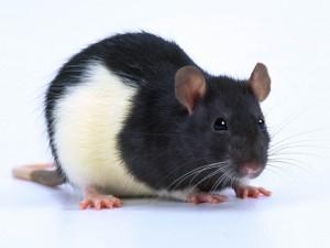 Arrivée d'un rat