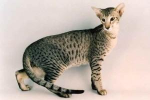 Le chat Oriental