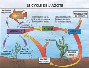 Le cycle de l'azote