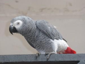 Les perroquets d'Afrique et d'Amérique du Sud