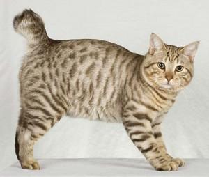Le chat American Bobtail
