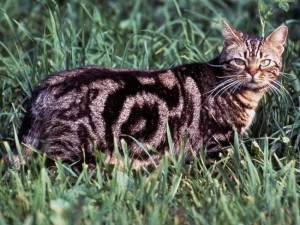 Le chat American Shorthair