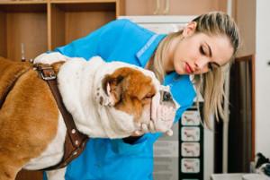 La dysplasie coxo-fémorale chez le chien