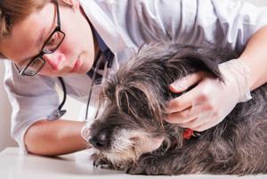 La maladie de peau du chien, réaction allergique ou parasites ?