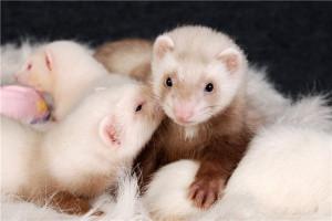 La reproduction chez les furets