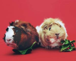 Lapin ou cochon d'inde, lequel choisir pour adopter ?