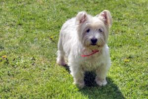 Le Westie ou West Highland White Terrier