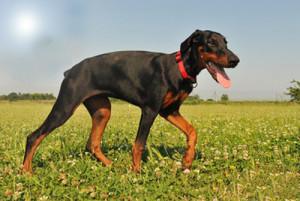 Le handicap des pattes arrières chez un chien