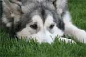 L'épilepsie chez le chien