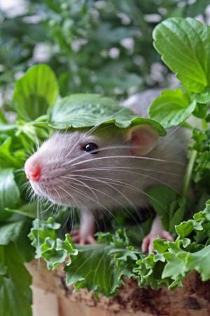 Les herbes et plantes utiles pour la création d'un potager pour rongeur