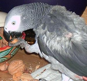 Les intoxications alimentaires chez les oiseaux