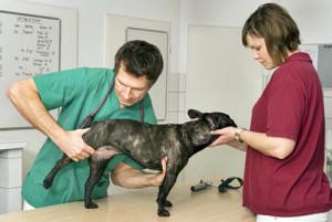 Mon chien traîne la patte, est-ce de l'arthrose?