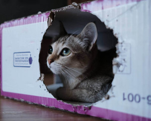 Pourquoi les chats aiment-ils les boites ?