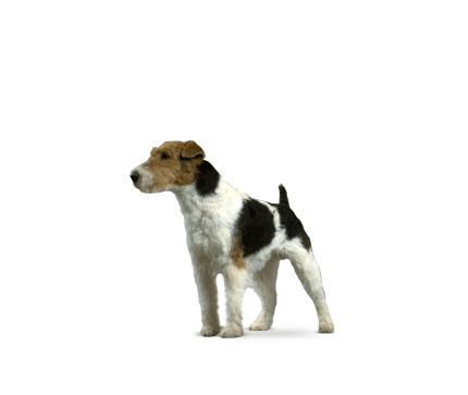 Fox Terrier à poil dur